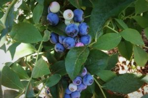 Cover photo for Blueberry Pruning Demonstration at Sandy Creek Farm