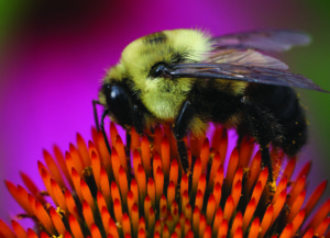 Cover photo for Recording of Bumble Bee Webinar Now Available for Viewing