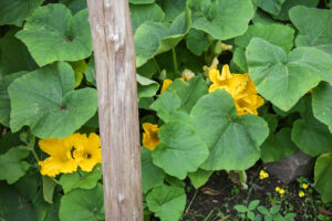 Butternut squash in flower